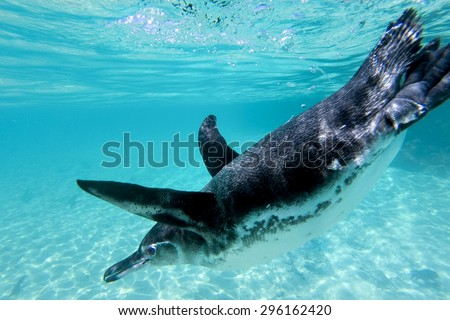 Close-up view of a little Galapagos penguin swimming underwater. Galapagos Island. Ecuador 2015 - stock photo