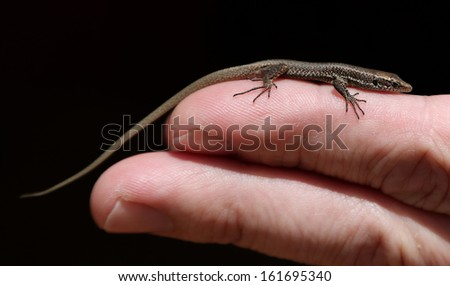 Close-up view of a Madeiran wall lizard - Lacerta dugesii