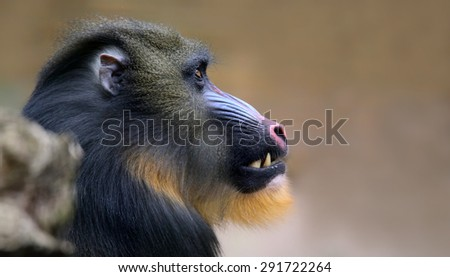 Close-up view of a male Mandrill (Mandrillus sphinx)  - stock photo