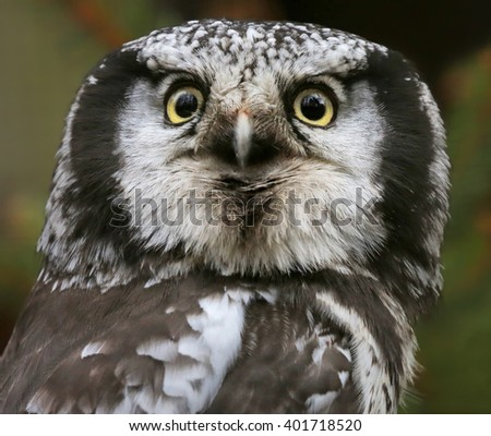 Close-up view of a Northern hawk-owl (Surnia ulula) - stock photo