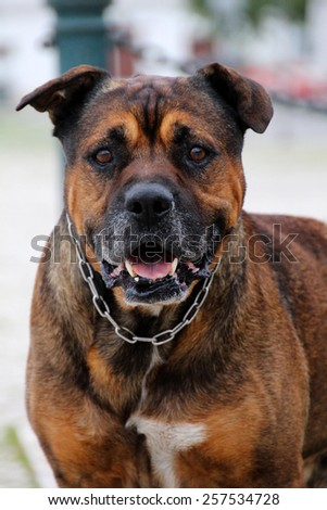Close up view of a old domestic guard dog. - stock photo