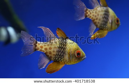 Close-up view of a pajama cardinalfish (Sphaeramia nematoptera) - stock photo
