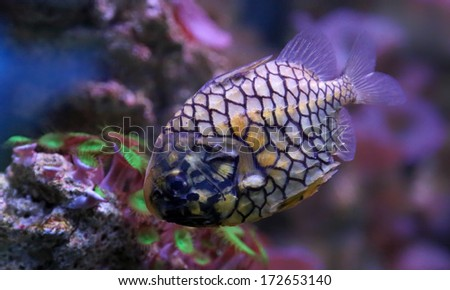 Close-up view of a pinecone fish (Monocentris japonica)  - stock photo