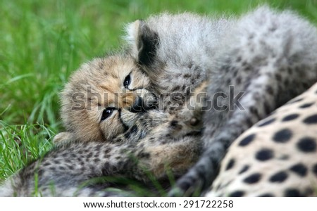Close-up view of a playing Cheetah cubs  - stock photo