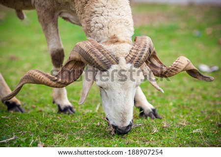 Close up view of a ram sheep head with large horns - stock photo