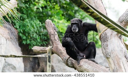 Close-up view of a single adult chimpanzee (Pan troglodytes) in the zoo with green natural background. It is from Western & Central Africa range. Panorama style.