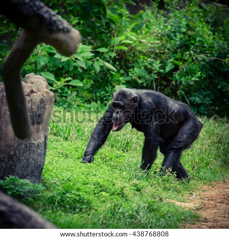 Close-up view of a single adult chimpanzee (Pan troglodytes) in the zoo with green natural background. It is from Western & Central Africa range. Vintage look.