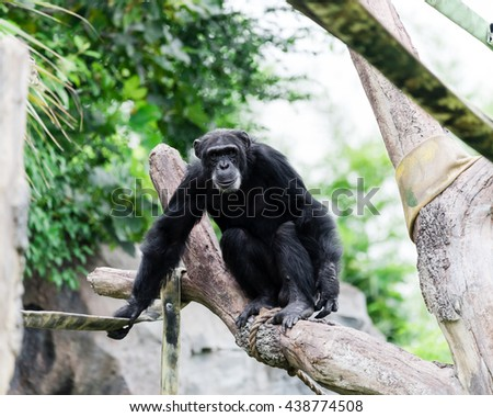 Close-up view of a single adult chimpanzee (Pan troglodytes) in the zoo with green natural background. It is from Western & Central Africa range. - stock photo