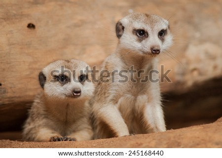 Close up view of a small meerkat or suricate (Suricata suricatta) on the dirt.