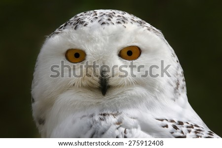 Close-up view of a Snowy Owl (Bubo scandiacus) - stock photo