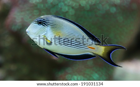 Close-up view of a Sohal surgeonfish (Acanthurus sohal) - stock photo