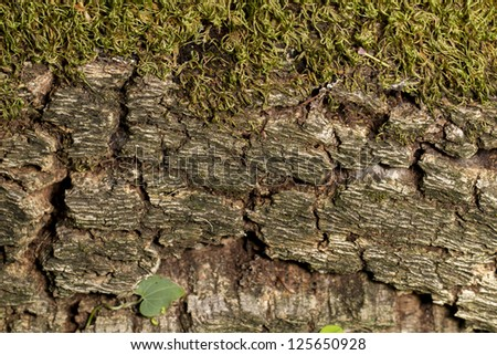 Close up view of a tree bark with moss texture in the forest.