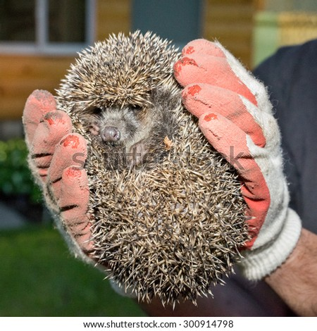 close up view of a two arms in gloves holding the hedgehog - stock photo