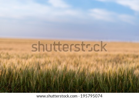 Close up view of a wheat field - stock photo