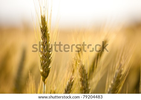 close up view of a wheat field in the country side - stock photo