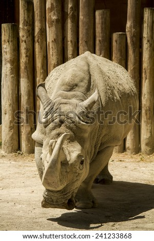 Close up view of a white rhinoceros or square-lipped rhinoceros (Ceratotherium simum) on a zoo. - stock photo