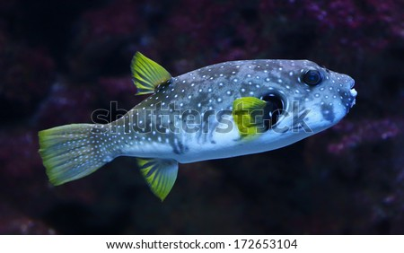 Close-up view of a White-spotted puffer (Arothron hispidus)  - stock photo