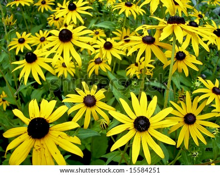 Close up view of a yellow cone flower garden. - stock photo