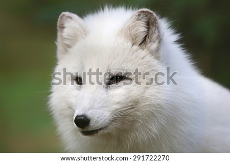 Close up view of an Arctic Fox (Vulpes lagopus) - stock photo
