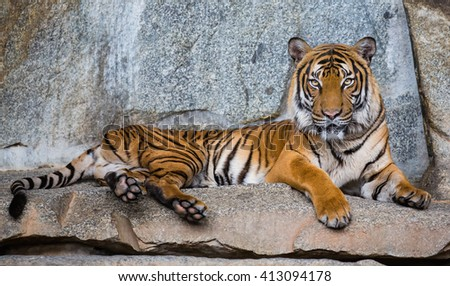 Close up view of an Indochinese tiger (Panthera tigris corbetti) - stock photo