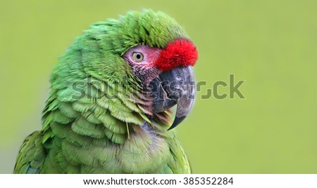 Close-up view of an Military Macaw (Ara militaris) - stock photo