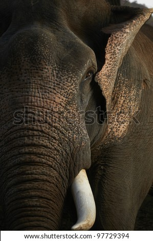 Close up view of Asian elephant's head photographed in jungle setting of Thailand. - stock photo