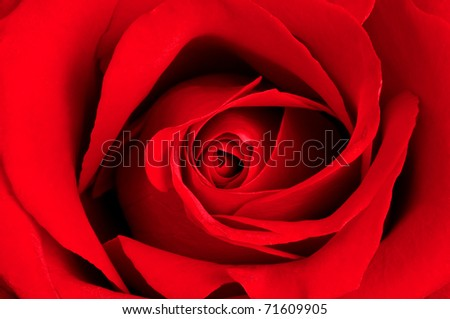 Close-up view of beatiful dark red rose - stock photo