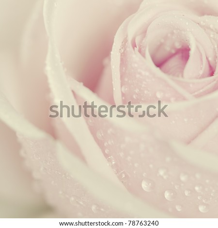 Close-up view of beatiful pink rose with water drops - stock photo