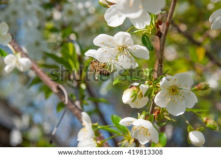 Close up view of bee collects nectar and pollen on a white blossoming cherry tree branch. White flowers of the cherry blossoms on a spring day in the garden. Beekeeping in the garden.  - stock photo