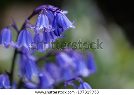 close up view of bluebells with rain drop on the petals in the sunlight, against a blurred background - stock photo