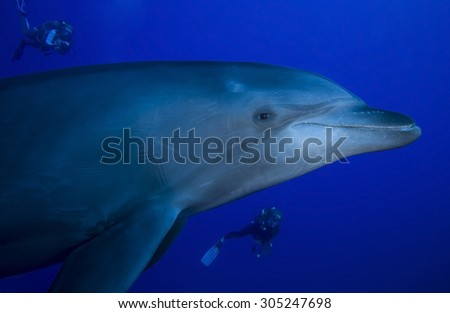 CLOSE-UP VIEW OF BOTTLE NOSE DOLPHIN SWIMMING WITH DIVER - stock photo