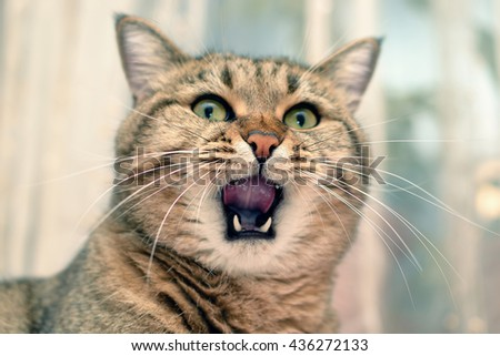 close-up view of cat inside with wide open mouth
