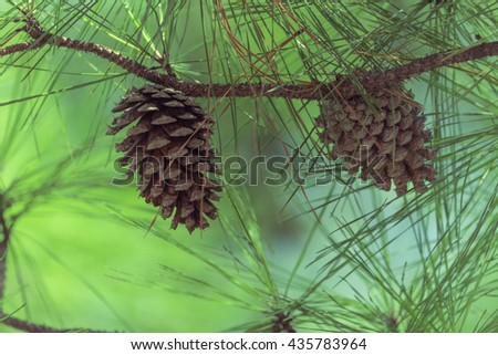 Close-up view of cedar pine cone on the tree, the most common type of coniferous tree in the world. Pinecone on the tree with warm light and shallow dof, bokeh background. Vintage look. - stock photo