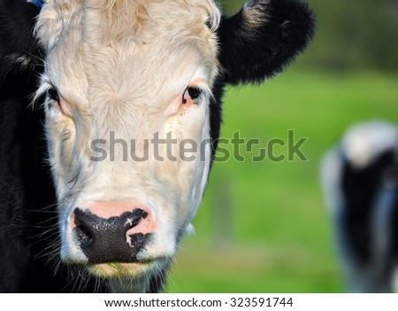 Close-up view of cow face looking at camera - stock photo