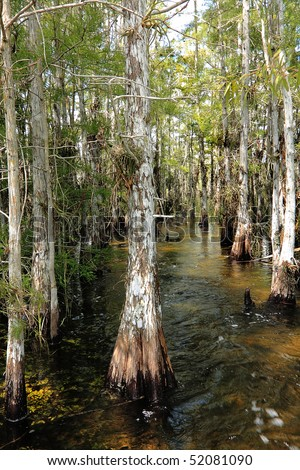 Close up view of Cypress trees growing in the waters of the Florida Everglades - stock photo