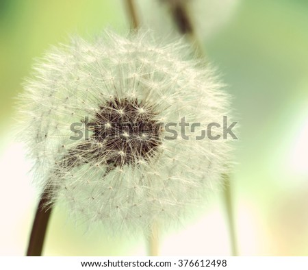 Close up view of Dandelion on background green grass - stock photo
