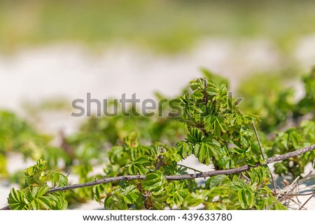 Close-up view of dog-rose plants on the white sandy beach with the blurred background - stock photo