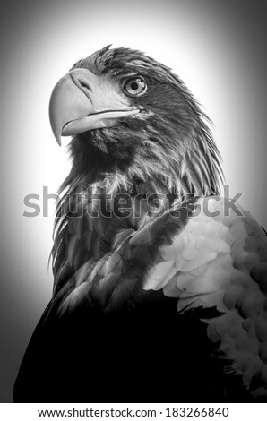 Close up view of Eastern Imperial Eagle or Aquila heliaca, black and white - stock photo