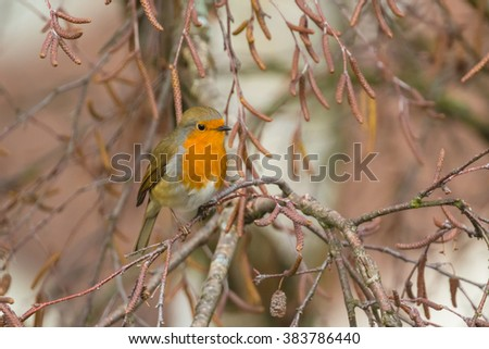 Close up view of  European robin sitting on the tree
