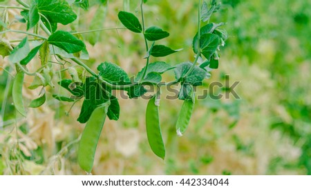 Close up view of fresh green pea on plant growing on the organic farm in Washington state, US. Food concept and agriculture background. Panorama style.