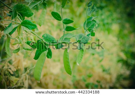 Close up view of fresh green pea on plant growing on the organic farm in Washington state, US. Food concept and agriculture background. Vintage filter look.