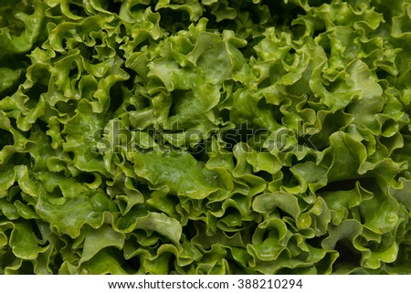 Close up view of fresh lettuce texture leafs