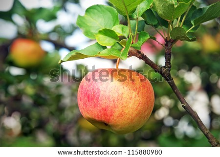 Close-up view of fresh red apple hanging on branch - stock photo