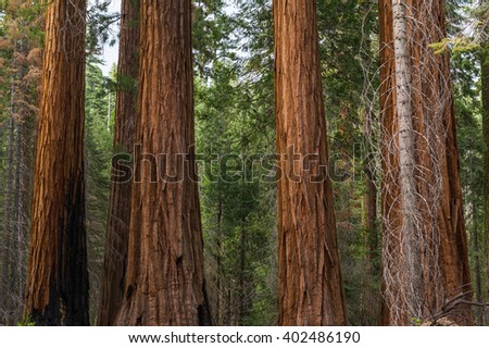 Close up view of gigantic sequoia redwood tree trunks. - stock photo