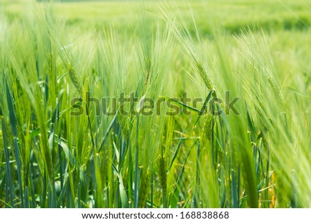 Close-up view of grain at the end of summer fully ripe - stock photo