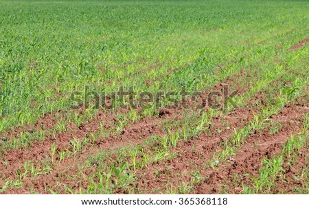 Close up view of green field with corn at sunny summer day - stock photo