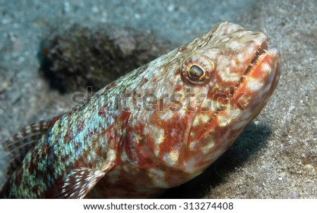 CLOSE-UP VIEW OF LIZARDFISH WAITING ON CORAL REEF BOTTOM