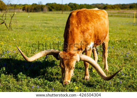 Close up view of longhorn bull grazing in a field on a ranch in the Texas Hill Country. - stock photo