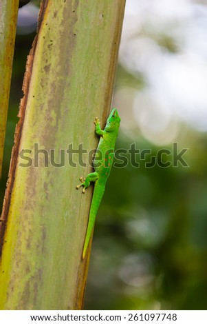 Close up view of Madagascar day gecko on the tree - stock photo