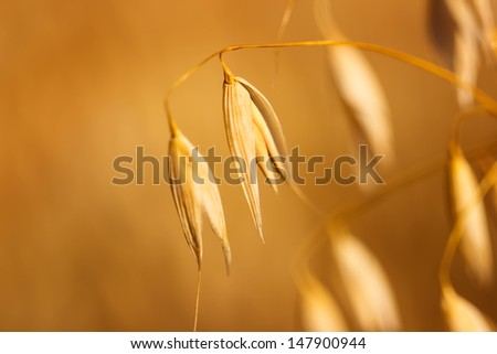 Close up view of oats in the field - stock photo